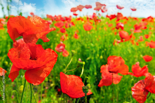 Papiers peints Rouge Field with scarlet poppies.