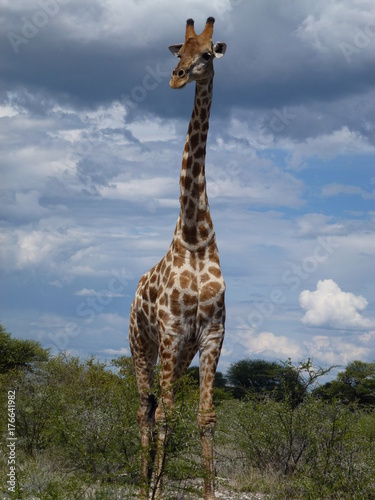giraffe from Namibia, Africa Poster