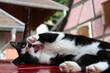 Chat noir et blanc joueur - 176645307