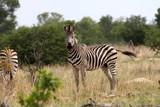 Grant's zebra. Equus quagga boehmi, Hwange National Park, Zimbabwe - 176646902