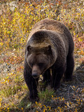 Grizzly Bear in Fall Bushes - 176647710