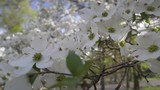 Closeup dogwood blossoms with shallow depth of field. - 176648527