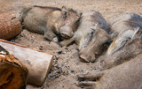 Four wild warthogs keeping warm around a campfire. Swaziland - 176650719