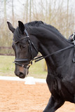 Portrait of dressage horse in the arena - 176651781