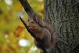 brave squirrel in a hurry behind a forage - 176662965