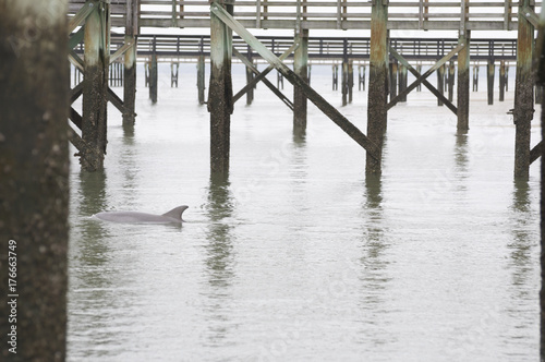 Fototapeta Dolphin Swimming Between Low Country Docks