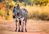 Pair of staring Zebra on a woodland path woodland. Swaziland - 176664386
