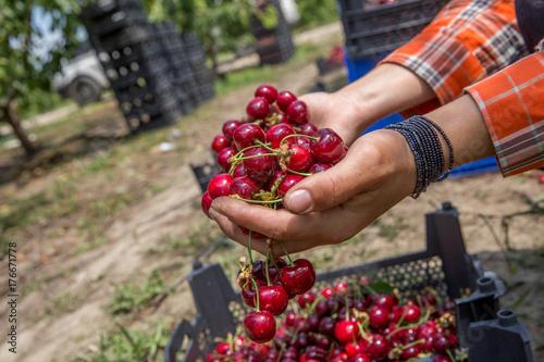 Fotobehang Kersen Closeup cherries in crate at female hands. Gardening, agriculture, harvest concept. Hands holding wooden box with fresh ripe cherries. Harvest of summer berries