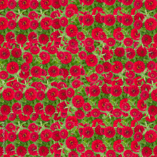 Red zinnias flower background, Orange flower blooming with leaf - 176673936