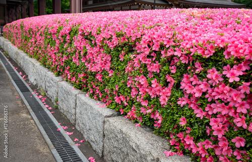 Fotobehang Candy roze The beautiful pink Shibazakura in the garden at Tokyo, Japan