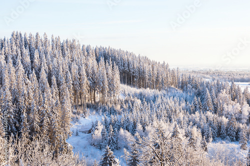 Foto op Canvas Lavendel View of the spruce forest landscape in winter