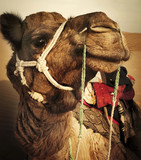 Johnie the Camel in the Thar Desert, Rajasthan, India. - 176689164