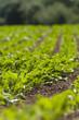 Sugar beet plants in  field
