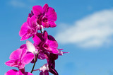 Close-up of pink Orchid flower, Orchid in the garden with blue sky