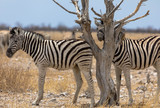 Zebrafohlen im Etosha-Nationalpark, Namibia - 176689318