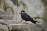 Portrait of ringed Inca Tern birds on rocks in natural habitat environment - 176689578