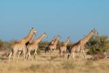 Giraffes (Giraffa camelopardalis) in natural habitat, Etosha National Park, Namibia. - 176693350