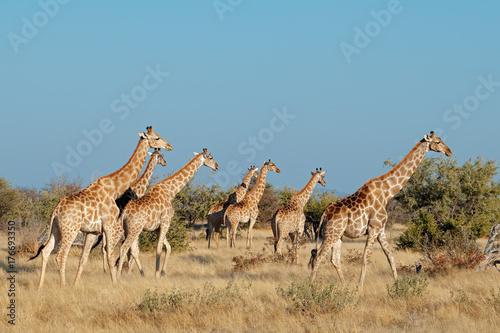 Fototapeta Giraffes (Giraffa camelopardalis) in natural habitat, Etosha National Park, Namibia.
