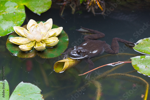 Aluminium Kikker Frog in a pond with lotus leaves in China