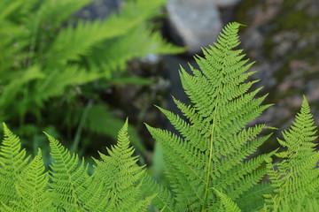 Fern leaves background.