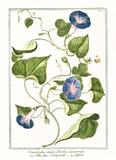 Old botanical illustration of Convolvolus major. By G. Bonelli on Hortus Romanus, publ. N. Martelli, Rome, 1772 – 93 - 176701550