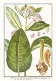 Old botanical illustration of  Apocynum latifolium, (Apocynum androsaemifolium). By G. Bonelli on Hortus Romanus, publ. N. Martelli, Rome, 1772 – 93 - 176701984