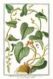 Old botanical illustration of Tamnus racemosa (Dioscorea communis). By G. Bonelli on Hortus Romanus, publ. N. Martelli, Rome, 1772 – 93 - 176702322