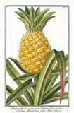 Old botanical illustration of Ananas fructu ovato (Ananas vomosus). By G. Bonelli on Hortus Romanus, publ. N. Martelli, Rome, 1772 – 93 - 176702560