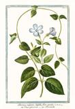 Old botanical illustration of Pervinca vulgaris (Vinca minor). By G. Bonelli on Hortus Romanus, publ. N. Martelli, Rome, 1772 – 93 - 176702919