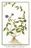 Old botanical illustration of Pervinca vulgaris angustifolia (Vinca minor). By G. Bonelli on Hortus Romanus, publ. N. Martelli, Rome, 1772 – 93 - 176702948