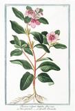 Old botanical illustration of Pervinca vulgaris latifolia (Vinca major). By G. Bonelli on Hortus Romanus, publ. N. Martelli, Rome, 1772 – 93 - 176702995