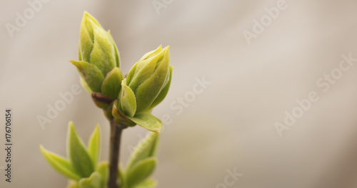 first lilac buds in spring closeup