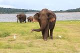 Kaudulla Elephants 6 - 176708316
