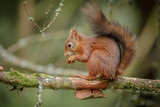 Adorable red squirrel - 176710387