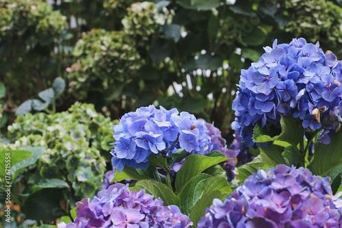 Violet hydrangea flowers closeup Poster