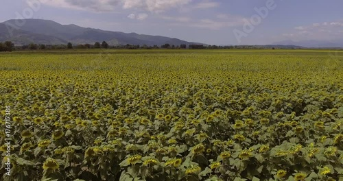 Aerial, sunflower field by day
