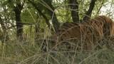 Bengal Tiger (Panthera tigirs tigris) walking in high grass, starts eating grasses. Low angle - 176720545
