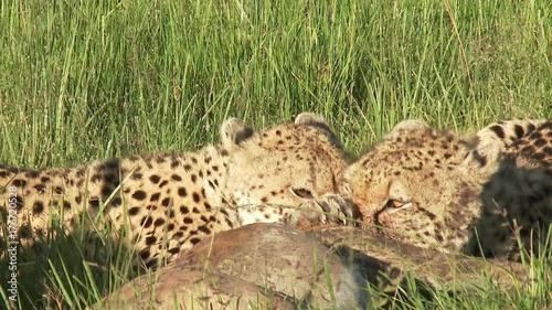 Cheetah (Acinonyx jubatus)  juveniles start eating just caught Impala  (Aepyceros melampus)