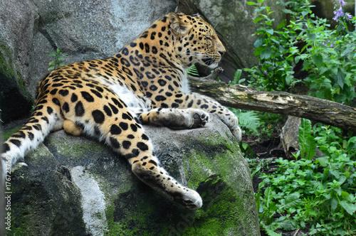 Foto op Plexiglas Panter Amur Leopard