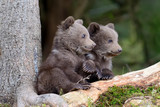Brown bear cub - 176730352