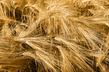 Beautiful Barley Field in period harvest. - 176734155