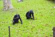 Quadro Chimpanzees to Shanghai zoo