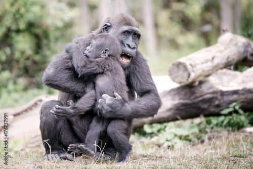 Les jeunes gorilles s'amusent Poster