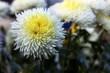 Delicate white chrysanthemum flower
