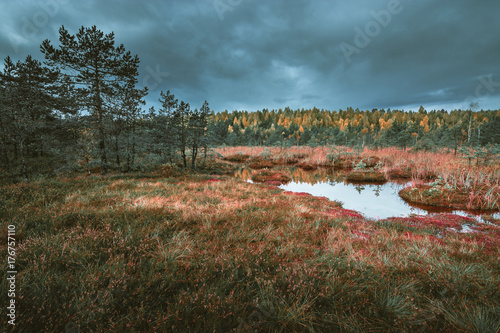 Aluminium Grijze traf. Swamp at gloomy weather in Latvia. Apocalyptic feeling hiking on a wooden trail through the bog with dark clouds. Swamp is surrounded with small lakes, junipers, plants and wildlife.