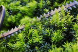 Cutting the yew bush hedge with the electric hedge trimmer; selective focus action - 176761956