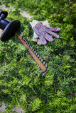 After the yard work, yew bush hedge trimmings with the electric hedge trimmer and gloves - 176762151