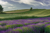 Blooming lavender and crop fields in Little Poland, under blue cloudy sky - 176763587