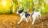 dogs running or walking in autumn - 176767313