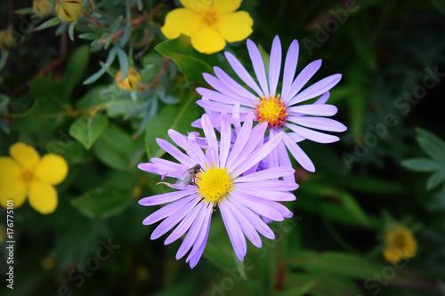 Fridge magnet Purple and Yellow Flowers in Banff National Park, Alberta